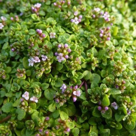 corsican mint